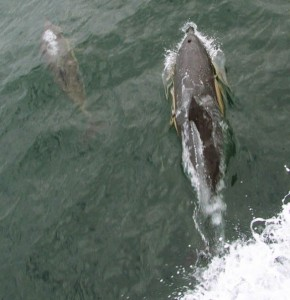marine conservation_dolphin and calf