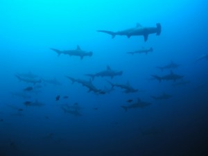 shark diving_cocos