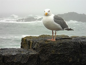 seagull at Depot Bay