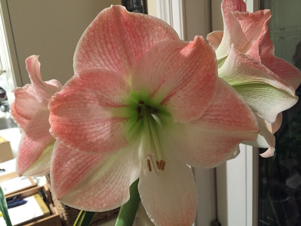 My amaryllis bulb in bloom at home
