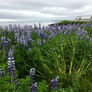 Lupine flowers like these are frequently seen around the fjord in summertime.