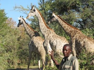 Kennedy Muzala with the giraffes