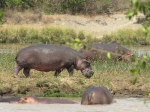 Hippos in the Ruaha River in Tanzania