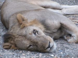 A lazy lion in Selous game reserve, Tanzania