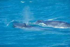 blue-whale-with-calf-by-andreas-tille