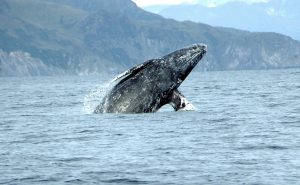 gray-whale-by-merril-gosho