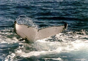 humpback-whale-tail-by-buckelwal-schwanzflosse