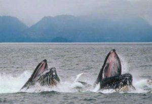 humpback_lunge_feeding