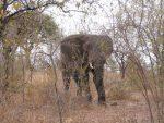 Tanzania – The Camp Elephant