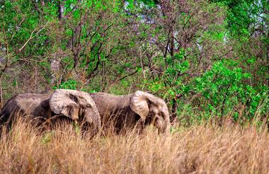 Ghana elephants
